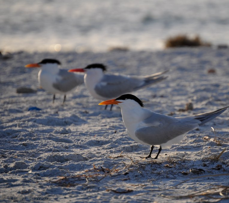 LBKbirds1a-14